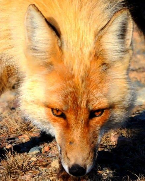 campanie de vaccinare la vulpi si in Timis