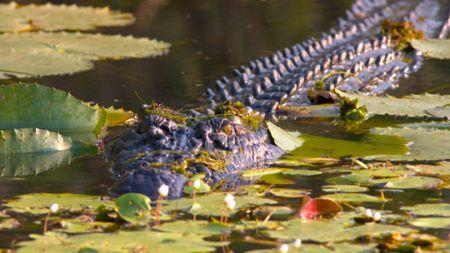 crocodile_kak_arn_u_1116916_540x304