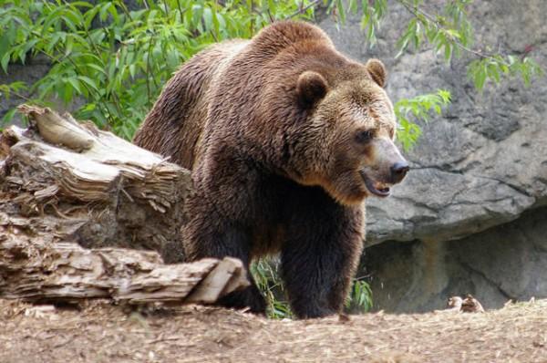 """În 9 state din SUA poți avea un urs ca și """"animal de companie""""."""