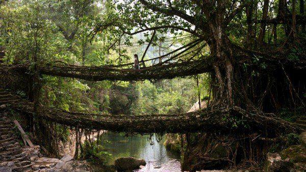 """În satul Cherrapunji din Meghalaya, unul dintre cele mai umede locuri din lume, localnicii au învățat să """"îmblânzească"""" ficusul pentru ca acesta să crească într-o anumită direcție, folosind suport de bambus. Unul dintre poduri are o lungime de 30 de metri și poate susține greutatea a 50 de persoane."""
